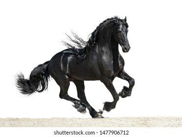 Black friesian horse with long mane runs isolated on white