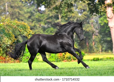 Black friesian horse with long mane runs in the blooming green garden in spring. Animal in motion.