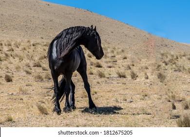 Black Friesian Horse with long mane