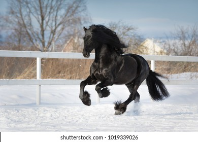 Black friesian horse with the mane flutters on wind running gallop on the snow-covered field in the winter, on a blue sky background