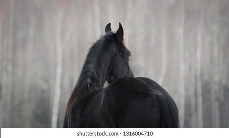 Black friesian horse on the white snow-covered field background in the winter. Back side view.