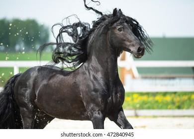 Black Friesian horse, portrain in motion in summer