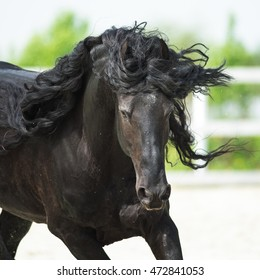 Black Friesian horse, portrain in motion in summer