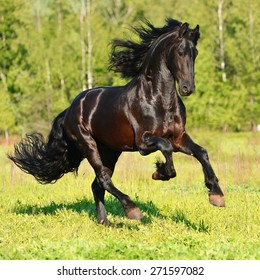 Black Friesian horse runs gallop in summer time