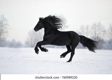 black Friesian horse runs gallop on a snowy field