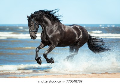 black Friesian horse runs gallop on the water on the coast