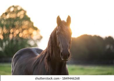 Black Friesian horse at sunrise