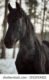 Black Friesian horses on winter. Portrait of Friesian