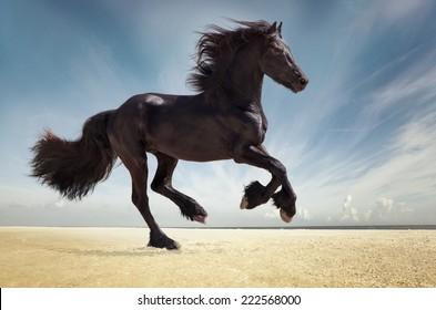 black friesian stallion gallop. isolated