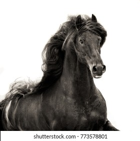 black friesian stallion with long mane portrait on white background in sepia