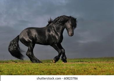 black friesian stallion runs gallop in sunset