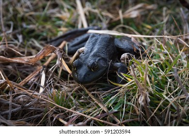 Black frog that was trying to hide in the grass. He was nice enough to stay still while we took his picture.