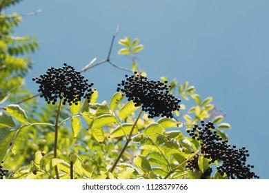 Black fruits elderberry on background green leaf. Elderberry fruit.