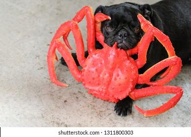 Black funny pug dog playing with alaskan king crab (Plastic model toy.).