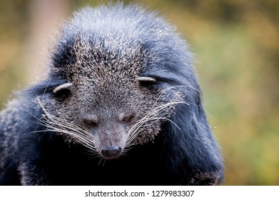 Black fur animal, binturong
