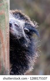 Black fur animal, binturong