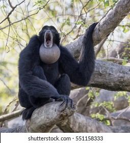 Black furred siamang with inflated throat pouch engaged in morning howling.