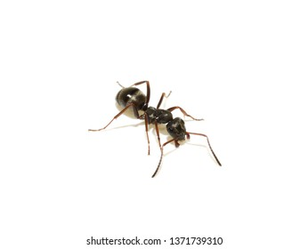 The black garden ant Lasius niger isolated on white background