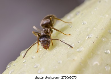 A black garden ant (lasius niger) is drinking water from raindrops