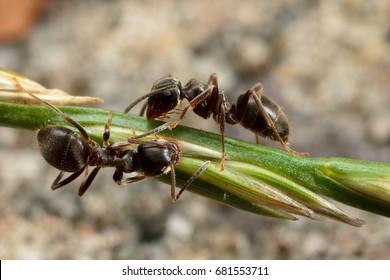 Black Garden Ant, Lasius niger