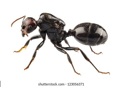Black garden ant species Lasius niger in high definition with extreme focus isolated on white background