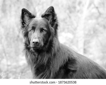 black German shepherd dog portrait in black and white