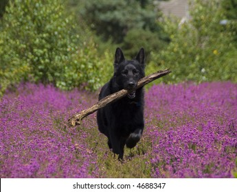 A black german shepherd dog with a stick in it's mouth running through a field of heather.