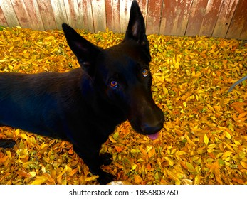 Black German Shepherd in the fall