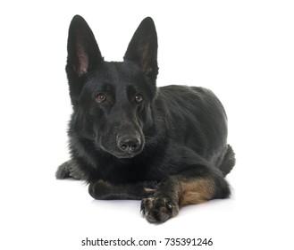 black german shepherd in front of white background
