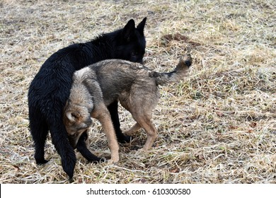 Black german shepherd and mongrel