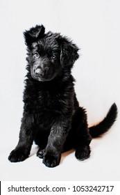 Black german shepherd puppy on white background, selective focus