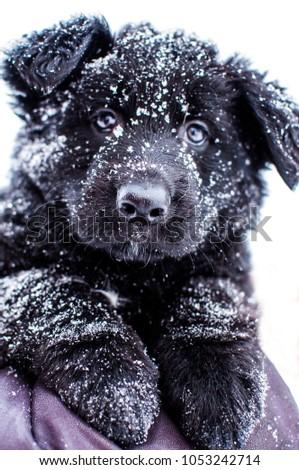 Black German Shepherd Puppy Walking Snow Stock Photo Edit Now