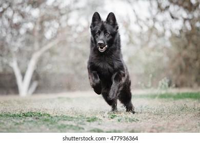 Black German Shepherd Running