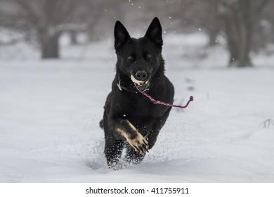 Black German Shepherd Training Snow Italy Stock Photo Edit Now