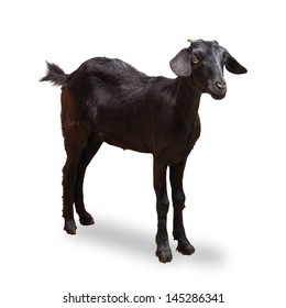 Black Goat Isolated On White with Clipping Path