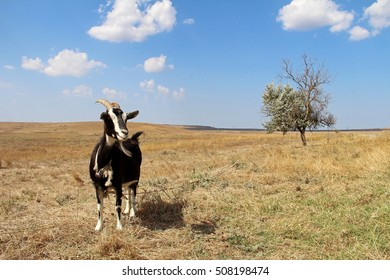 Black goat on the field in autumn. Crimea, Russia.