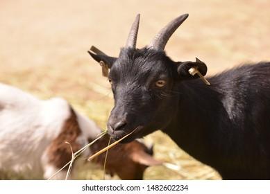 Black goat portrait while eating.