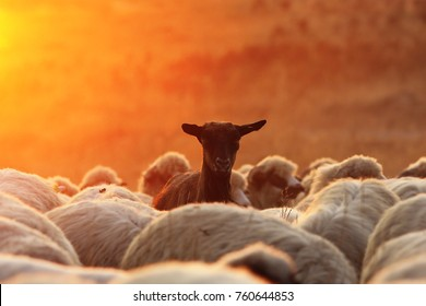 black goat ram with sheep herd in beautiful colors of sunrise