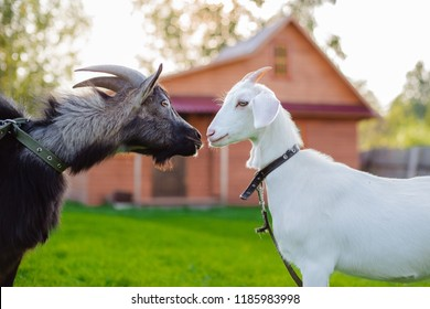 A black goat and a white goat kiss on the backdrop of a village house on a farm in the village. Love and the benefits of goat's milk. mating and cattle breeding