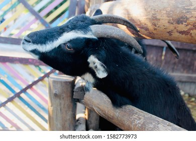 A black goat with a white stripe on its face stuck its head into a brown wooden fence between the boards. Horned goat, close-up, side view. Sunny autumn day.