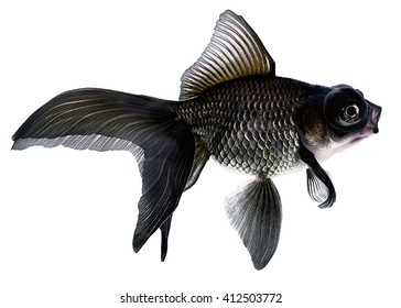Black  Gold Fish Isolated on White