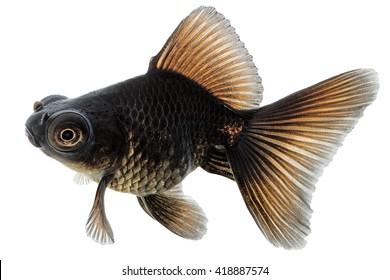 Black Gold Fish Isolated on White Background