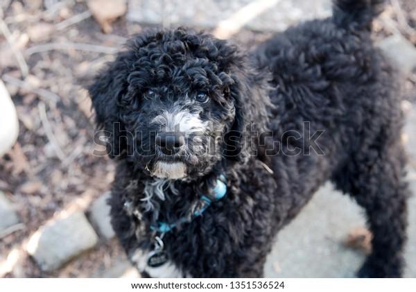 Black Golden Doodle Puppy Looking Camera Stock Photo Edit