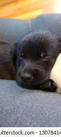 black golden retriever pup cute sleep