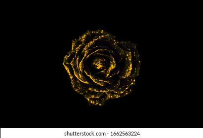 Black and golden rose isolated on black background. Golden rose on black background. Black and yellow abstract background.