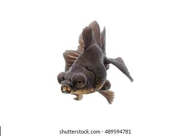 Black goldfish isolate on white background