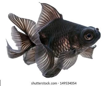 Black  Goldfish Isolated on White