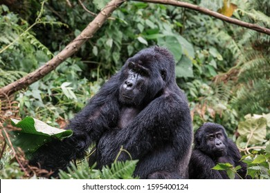 A black gorilla with a baby chewing vegetation in the wild deep in the jungle