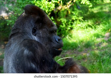 black gorilla side view against the background of greenery