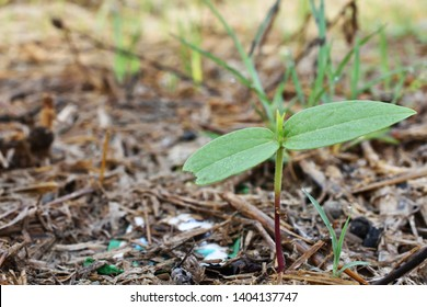 Black gram sprouts  growing In natural background. Black gram sprouts HD background
